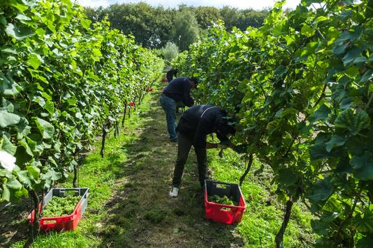 De druiven worden geplukt in de wijngaard.
