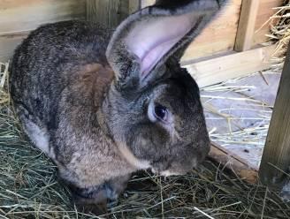 Grootste konijn ter wereld gestolen, Britse eigenaar looft ruim 1.000 euro uit