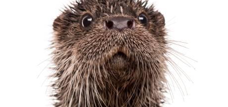 Otter gespot in Maas bij Lithoijen: 'Kop zo groot als babyhoofdje'