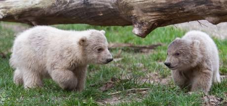 Bijzonder moment in dichte dierentuin: ijsbeertjes Ouwehands voor 't eerst buiten