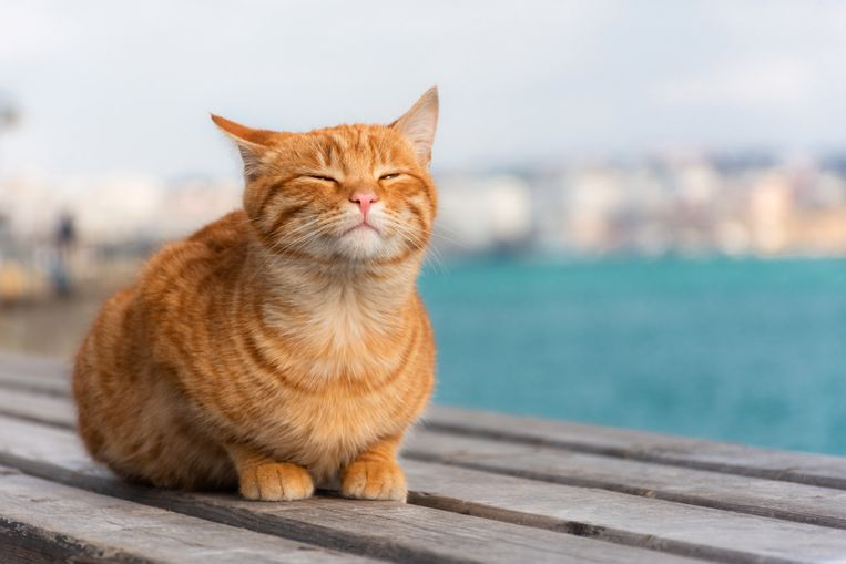 Je kat insmeren met zonnebrandcrème? Volgens deze dierenarts doe je er goed aan Beeld Getty Images/iStockphoto