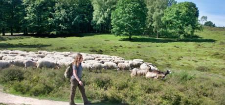 Geen geld voor afrastering omdat Rhedense schaapskooi net buiten leefgebied wolf staat