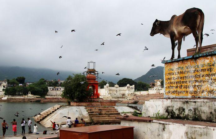 Een koe bij een tempel in India.