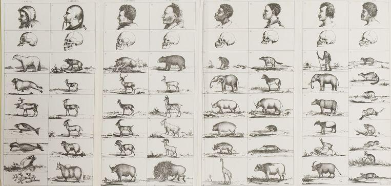Een afbeelding uit een boek uit 1857, waarin mensen werden gerangschikt op basis van de vorm van hun schedels, en de vormen van de schedels van de dieren waarmee ze overeen zouden komen.  Beeld null