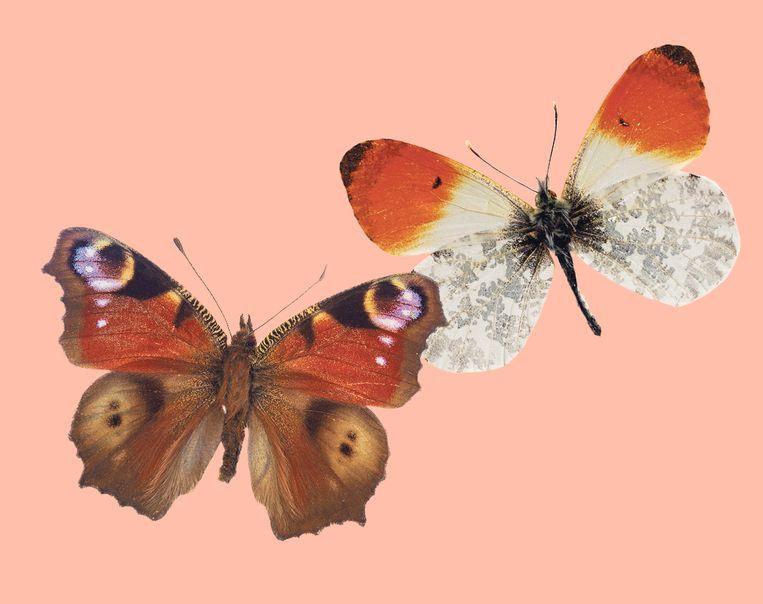 Links: dagpauwoog, rechts: oranjetipje.  Beeld colourbox