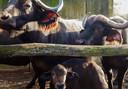 Kaapse buffel Pierre met zijn ouders.