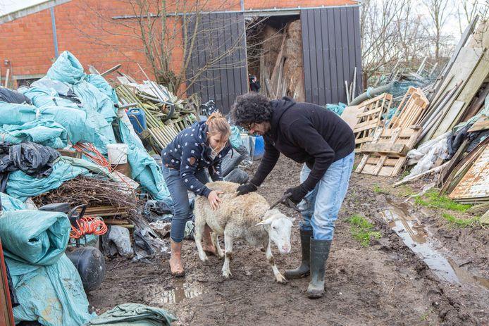 Een schaap laat zich aarzelend wegleiden van het erf.