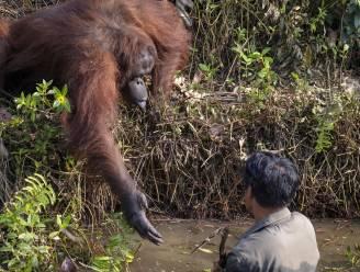 Het opvallende moment waarop orang-oetan man die vast lijkt te zitten in rivier de hand reikt