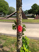 Ook deze boom bij het busstation achter het gemeentehuis in Veghel staat op de nominatie om gekapt te worden.