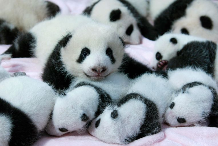 Giant panda cubs lie in a crib at Chengdu Research Base of Giant Panda Breeding in Chengdu, Sichuan province, September 23, 2013. Fourteen new joiners to the 128-giant-panda-family at the base were shown to the public on Monday, according to local media. REUTERS/China Daily (CHINA - Tags: SOCIETY ANIMALS TPX IMAGES OF THE DAY) CHINA OUT. NO COMMERCIAL OR EDITORIAL SALES IN CHINA Beeld REUTERS