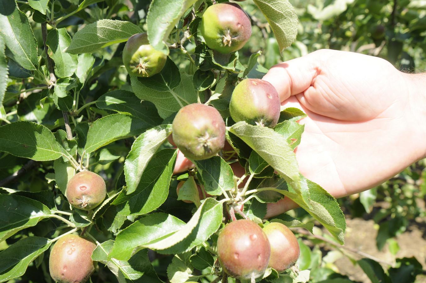 Bijna elke appel is beschadigd.