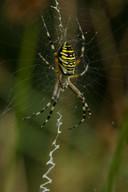 De wespspin wordt ook wel de wespenspin, tijgerspin of wielwebspin genoemd.