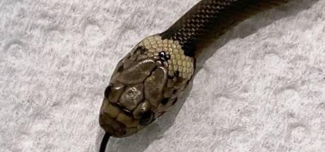 Australiër vindt giftige slang in sla van de Aldi: 'Daarna wel nog de sla gewassen en opgegeten'