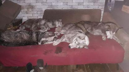 Everzwijn valt negen getrainde husky's aan
