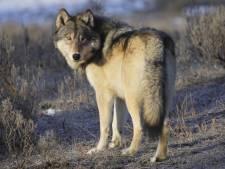 Wolf duikt voor het eerst op in Flevoland en doodt schaap in Zeewolde