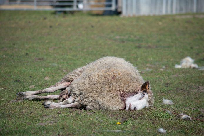 Archives (2019, mouton tué par un loup)