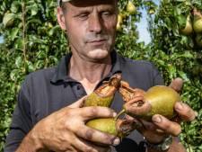 Tijdelijk afschotverbod pijnigt Twellose fruitkweker: 'Ik mag voor de kosten opdraaien'