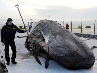 Dode potvissen op Duits eiland kwamen om van de honger
