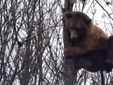 Dappere beer klimt in metershoge boom in Pairi Daiza, maar moet dan toch even pauzeren