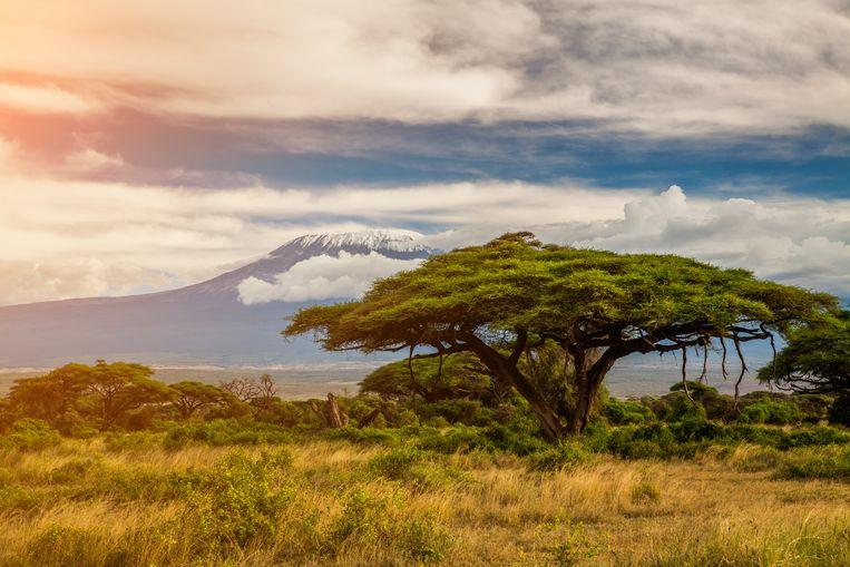 Het Nationaal park Ambosili in Kenia, met op de achtergrond de berg Kilimanjaro.  Beeld Getty Images