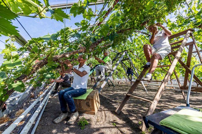 Druivenkrenters zijn volop in de weer in de kassen van voormalig themapark De Westlandse Druif aan de Vlotlaan in Monster.