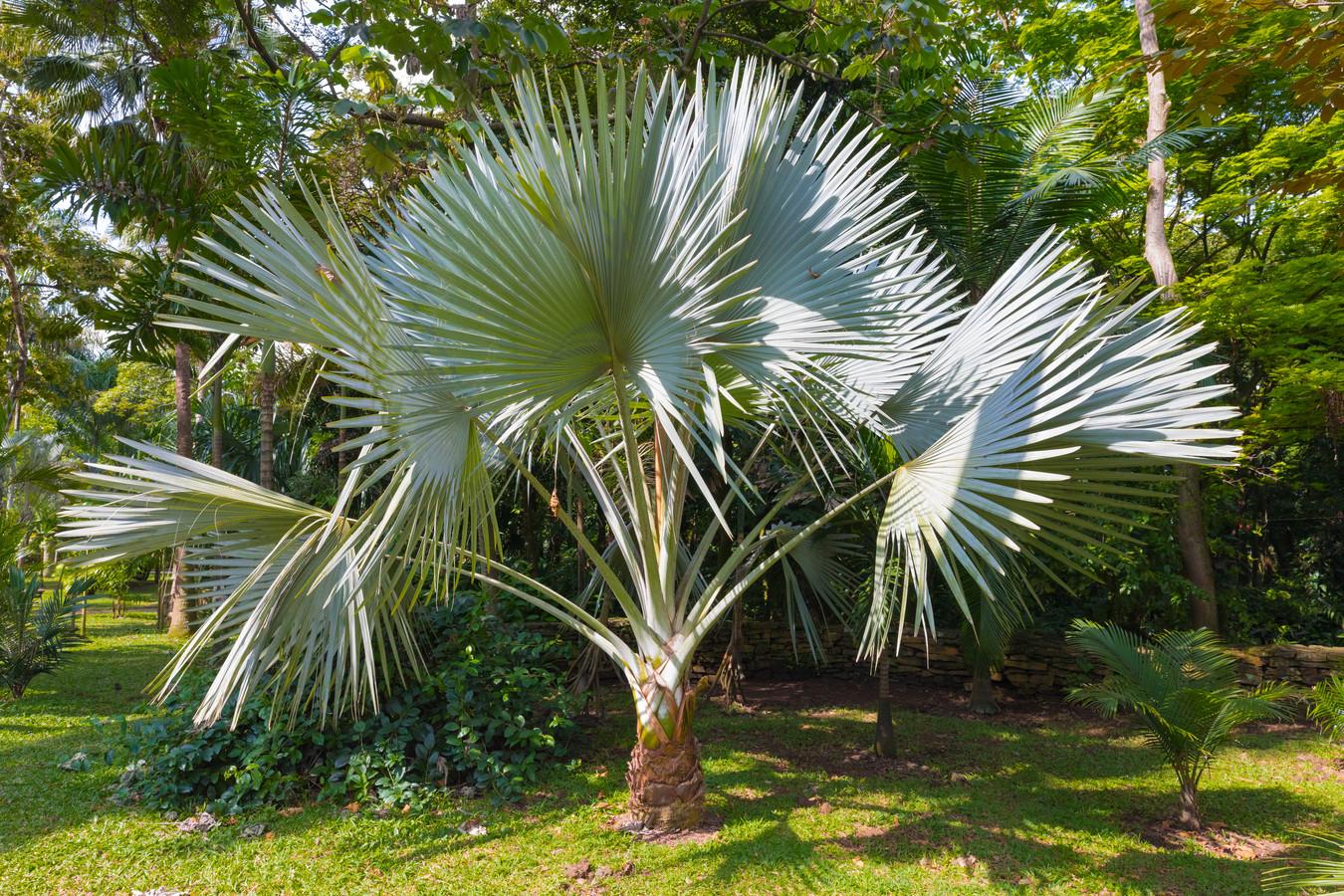 De Trachycarpus fortunei is het populairst in Nederland.
