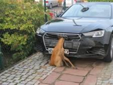 Vrouw ramt hert in Duitsland en rijdt naar huis met dier in grille