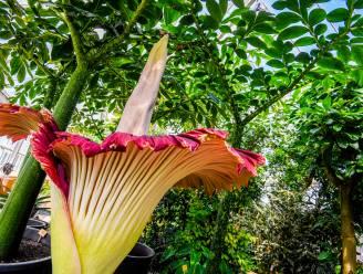 Aronskelk staat in bloei in Plantentuin Meise