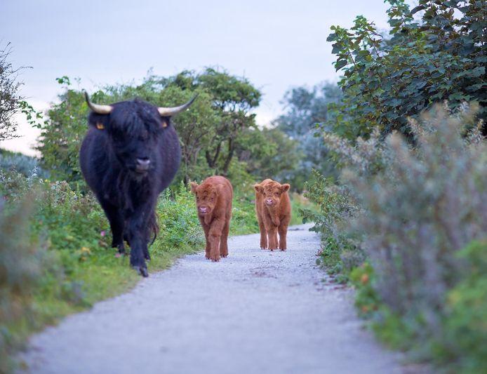 Twee van de vijf Schotse Hooglanderkalfjes in het Westduinpark.