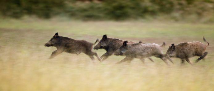 Een groep wilde zwijnen (archieffoto)