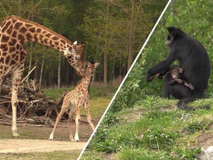 Geboortegolf in Safaripark Beekse Bergen: 'We hebben een hele waslijst'