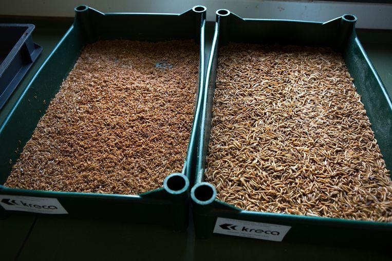 Eetbare insecten zijn de toekomst.  Links de meelworm en rechts de buffalo. Beeld Hollandse Hoogte / Najib Nafid