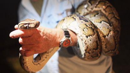Tijgerpythons roeien zoogdierenbestand uit in de Everglades