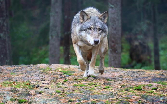Un loup a désormais établi son territoire en Wallonie (illustration).