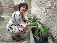 Burgemeester Vermue plant een lelie om de opening van museum Het Bolwerk in IJzendijke te vieren