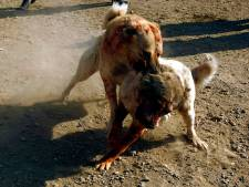 Pitbull torturé à mort: arrestations dans le milieu cruel des combats de chiens
