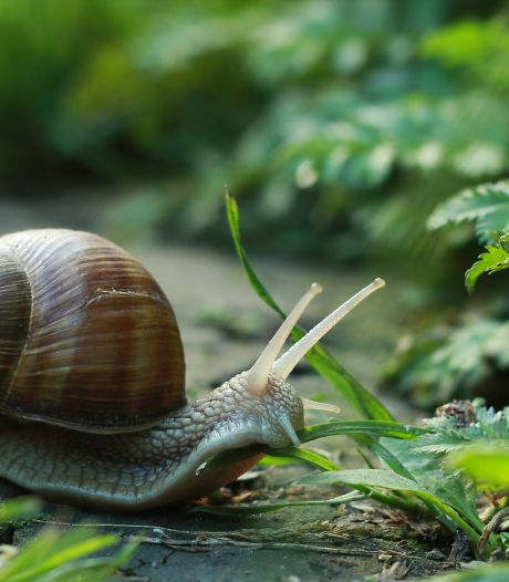 Het wemelt van de slakken en dit kun je er tegen doen: 'Korrels doden slakken, maar ook egels en zanglijsters'