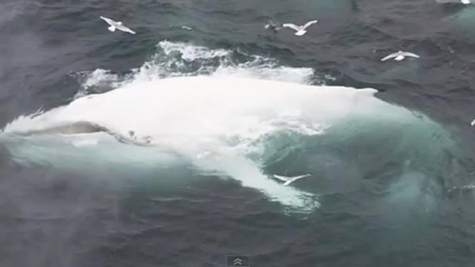 Zeldzame witte bultrug gespot voor Noorse kust
