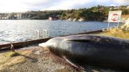 Noorse onderzoekers doen schokkende ontdekking in maag aangespoelde walvis