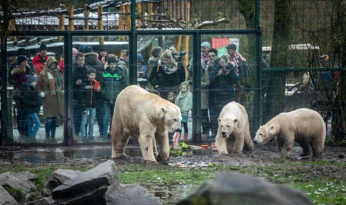 IJsberen in Dierenrijk doen zich tegoed aan haring.