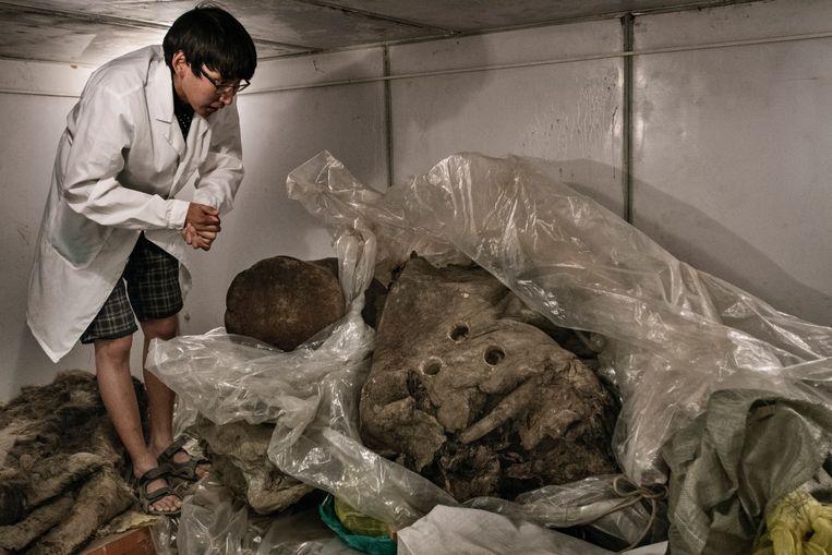Een vriezer van het Mammoet Museum in Jakoetsk waar wetenschappers overblijfselen van mammoeten bewaren. Die restanten zijn tienduizenden jaren bewaard gebleven in de permafrost. Beeld Yuri Kozyrev/Noor