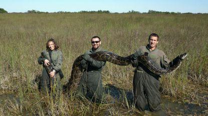 Bedreigen 'superslangen' de zuidkust van Florida? Wetenschappers ontdekken kruising tussen twee van meest dodelijke pythons