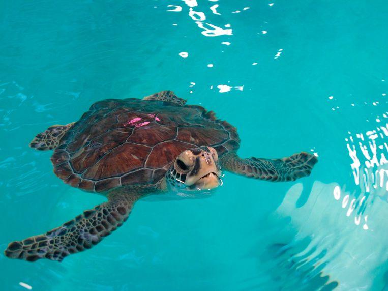 Een zeeschildpad in een dierenziekenhuis in de Verenigde Staten.  Beeld AP