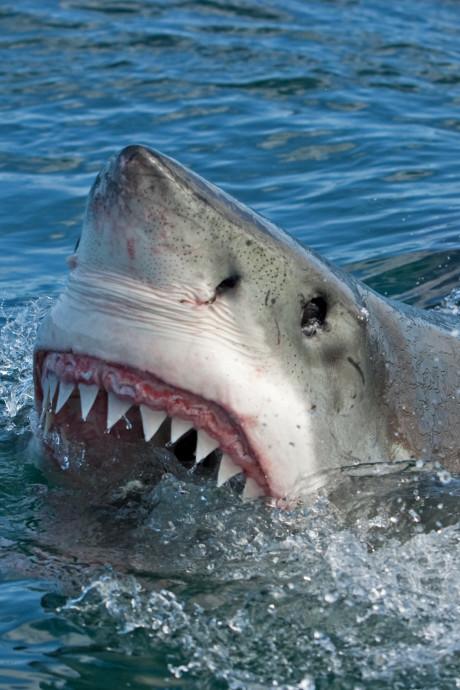 Haai valt surfer aan voor kust Australië