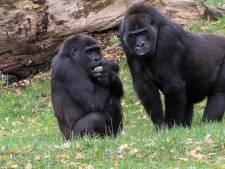 Goudbuikmangabeys van Burgers' Zoo in Arnhem zitten de gorilla's op de kop
