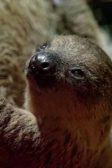 DNA-onderzoek geeft uitsluitsel: pasgeboren luiaard in DierenPark Amersfoort is een meisje