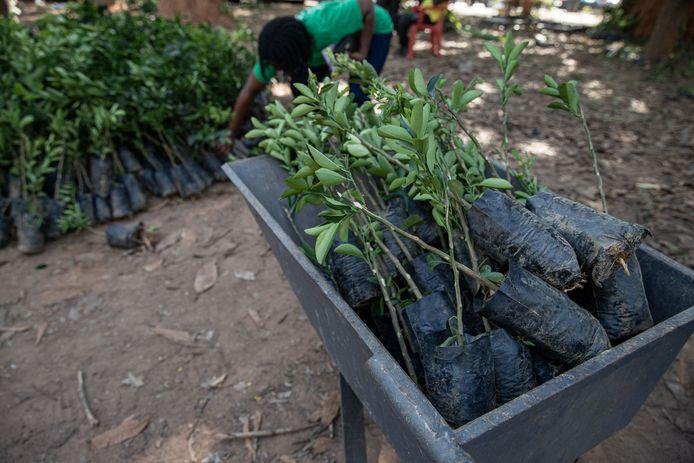 Meer dan zeven miljoen hardhoutbomen werden verdeeld over Ghanese parken, scholen en bedrijven ter voorbereiding van de speciale dag.
