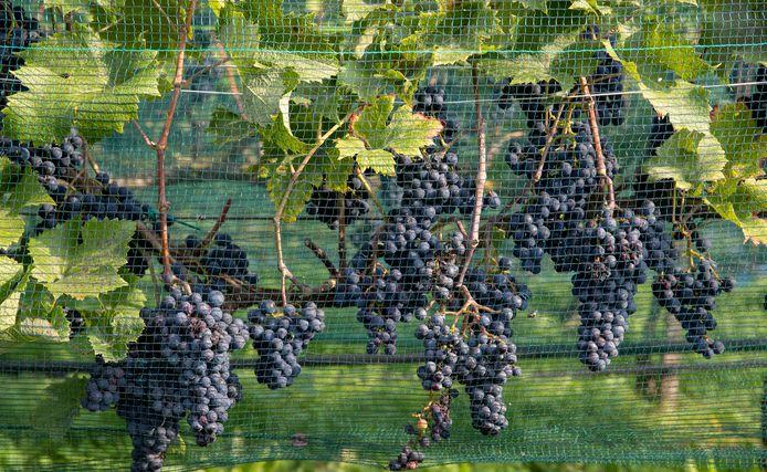 """t.b.v. de Gelderlander DGFOTO / de Vallei Ede 16/09/2020 wijngaard geluidswal A12 """"Gerben Kuiper meet met """"ranken met druiven met netten tegen wespen en vogels"""" opdrachtnr. foto: Herman Stöver t.b.v. de Gelderlander DGFOTO de Vallei"""