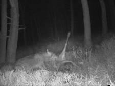 Wolf en aaseters smullen van edelhert in Gelderland: 'Unieke beelden'