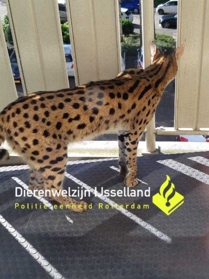 De serval liep rond over de galerij van een flat in Capelle.